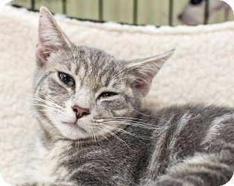 Domestic Shorthair Kitten for adoption in Gainesville, Florida - Galileo