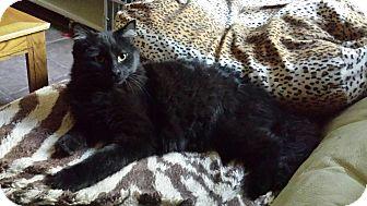 Bombay Kitten for adoption in Mesa, Arizona - Little Bear