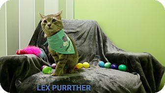 Domestic Shorthair Cat for adoption in Muskegon, Michigan - lex purrther