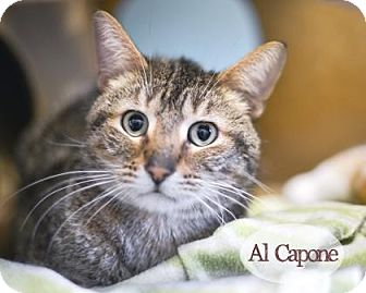 Domestic Shorthair Cat for adoption in West Des Moines, Iowa - Al Capone