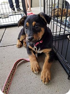 Pointer/Australian Shepherd Mix Puppy for adoption in Arlington/Ft Worth, Texas - Onxy