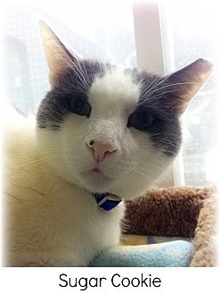 Domestic Shorthair Cat for adoption in Huntington, New York - Sugar Cookie