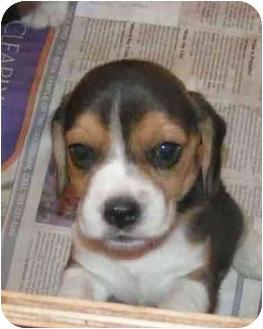 Beagle Puppy for adoption in Estacada, Oregon - BEAGLE PUPPIES!