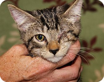 Domestic Shorthair Cat for adoption in Marietta, Ohio - Berlioz (Neutered)