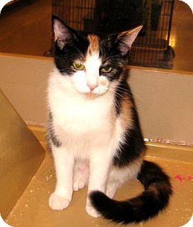 Calico Kitten for adoption in Colmar, Pennsylvania - Macy