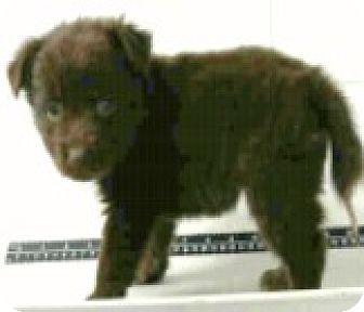 Australian Shepherd/Border Collie Mix Puppy for adoption in Boulder, Colorado - Denver-Adoption Pending