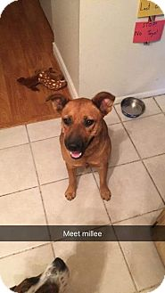 German Shepherd Dog/Rhodesian Ridgeback Mix Dog for adoption in Phoenix, Arizona - Koda