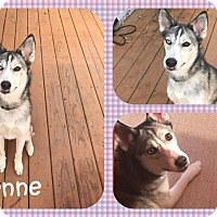 Adopt A Pet :: Cheyenne - DOVER, OH