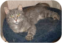 Domestic Mediumhair Cat for adoption in Honesdale, Pennsylvania - Callie