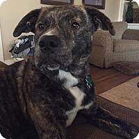 Adopt A Pet :: Carter - Alpharetta, GA