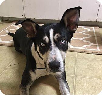 Australian Cattle Dog/Husky Mix Dog for adoption in La Verne, California - Dori