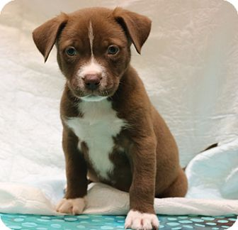 American Pit Bull Terrier/Border Collie Mix Puppy for adoption in Bedminster, New Jersey - Madden