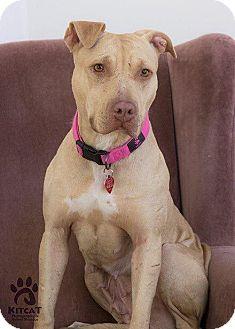 Pit Bull Terrier Mix Dog for adoption in Acushnet, Massachusetts - Scarlett