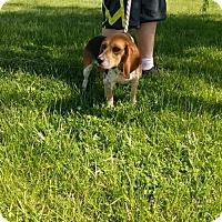 Adopt A Pet :: Bella - Trenton, MO