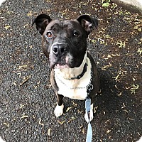 Adopt A Pet :: Hawkeye - Bloomfield, NJ