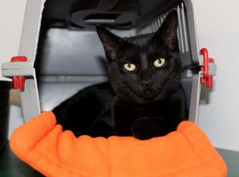Domestic Shorthair/Domestic Shorthair Mix Cat for adoption in Belleville, Michigan - Hemmingway