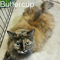 Adopt A Pet :: Buttercup - hollywood, FL