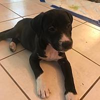 Adopt A Pet :: Tierra - Manchester, VT