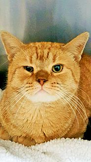 Domestic Shorthair Cat for adoption in Wayne, New Jersey - Tiny