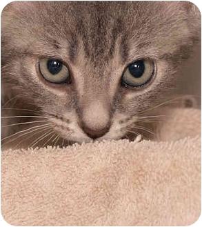 Domestic Shorthair Kitten for adoption in Upland, California - Smokey