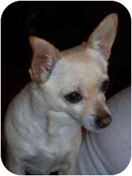 Chihuahua Dog for adoption in Rochester Hills, Michigan - Lulu