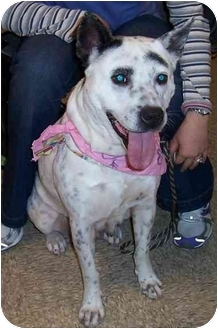 Australian Cattle Dog/Australian Shepherd Mix Dog for adoption in Olive Branch, Mississippi - Faddy Paddy