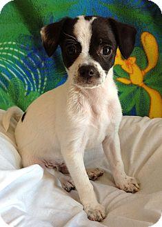 Terrier (Unknown Type, Small) Mix Puppy for adoption in El Dorado Hills, California - Eeyore