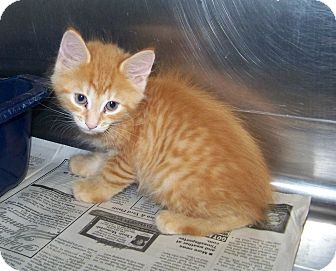Domestic Mediumhair Kitten for adoption in Dover, Ohio - Pheonix