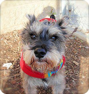 Schnauzer (Miniature) Dog for adoption in El Cajon, California - Jasper