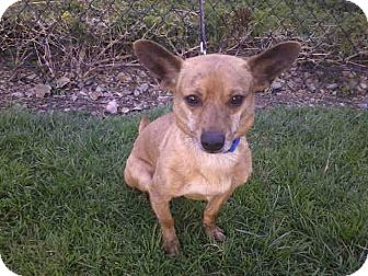 Chihuahua Mix Dog for adoption in Mission Viejo, California - Oz