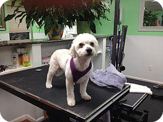 Bichon Frise/Poodle (Miniature) Mix Dog for adoption in Essex Junction, Vermont - Maggie