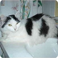 Adopt A Pet :: Lana-declawed - Arlington, VA