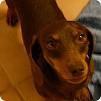 Adopt A Pet :: Savanah - dewey, AZ