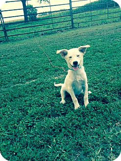 Husky Mix Puppy for adoption in Bedminster, New Jersey - Frank