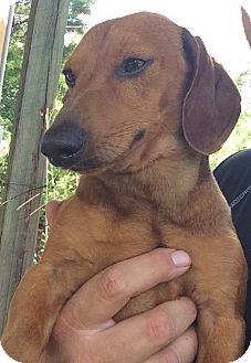 Dachshund Dog for adoption in Irmo, South Carolina - Ollie