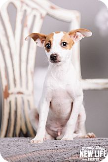 Chihuahua/Jack Russell Terrier Mix Puppy for adoption in Portland, Oregon - Cilantro
