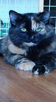 Manx Cat for adoption in Des Moines, Iowa - EMMA KAT