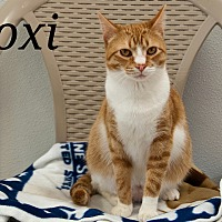 Domestic Shorthair Cat for adoption in Waynesville, North Carolina - Roxi