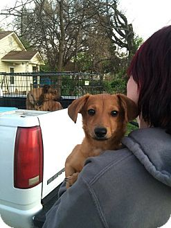 Chihuahua/Dachshund Mix Dog for adoption in WAGONER, Oklahoma - Marilyn