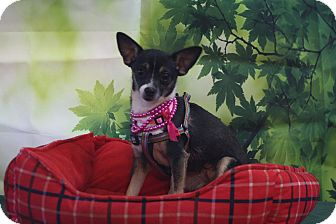 Chihuahua/Rat Terrier Mix Dog for adoption in Austin, Texas - Tinkerbell