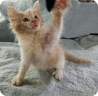 Domestic Shorthair Kitten for adoption in Des Moines, Iowa - Jupiter