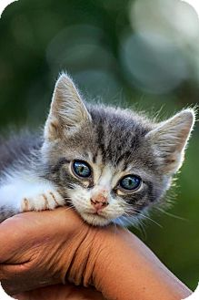 Domestic Mediumhair Kitten for adoption in Warner Robins, Georgia - Gumbo