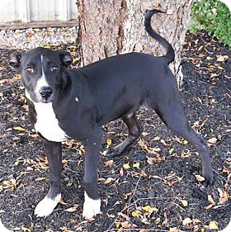 Flat-Coated Retriever/Border Collie Mix Dog for adoption in Union City, Tennessee - Daniel