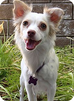 Pomeranian/Chihuahua Mix Dog for adoption in La Habra Heights, California - Hannah