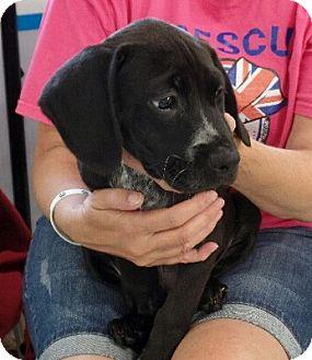 Beagle/Labrador Retriever Mix Puppy for adoption in Ashburn, Virginia - Heidi