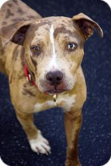 Catahoula Leopard Dog Mix Dog for adoption in Bradenton, Florida - Rowan