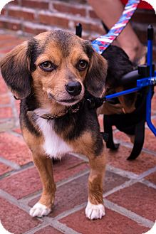 Chihuahua/Beagle Mix Dog for adoption in Fairfax, Virginia - Seth