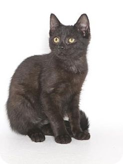 Domestic Shorthair Kitten for adoption in Gloucester, Virginia - FELIX