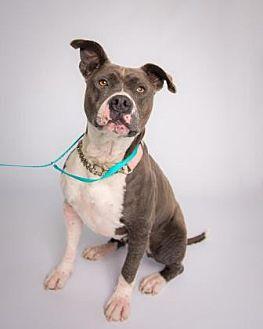 American Staffordshire Terrier Mix Dog for adoption in Santa Paula, California - Connie