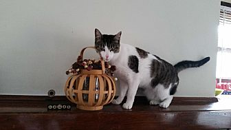American Shorthair Cat for adoption in Sharon Center, Ohio - Pink